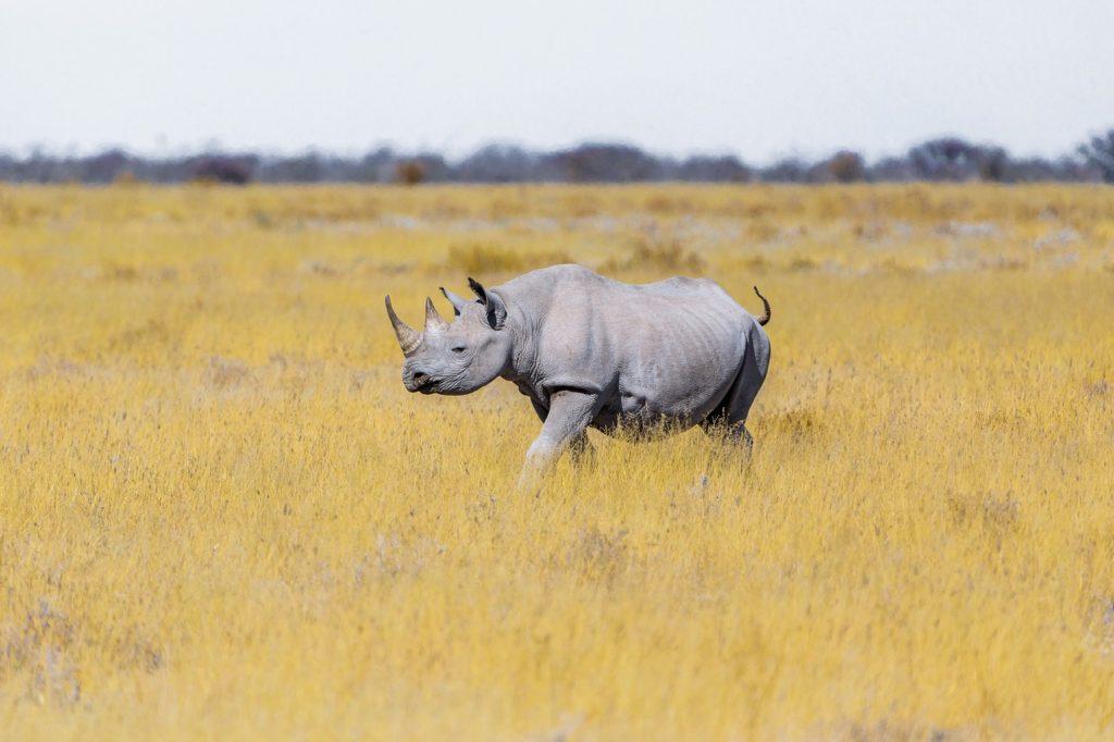 Zoom sur les rhinocéros