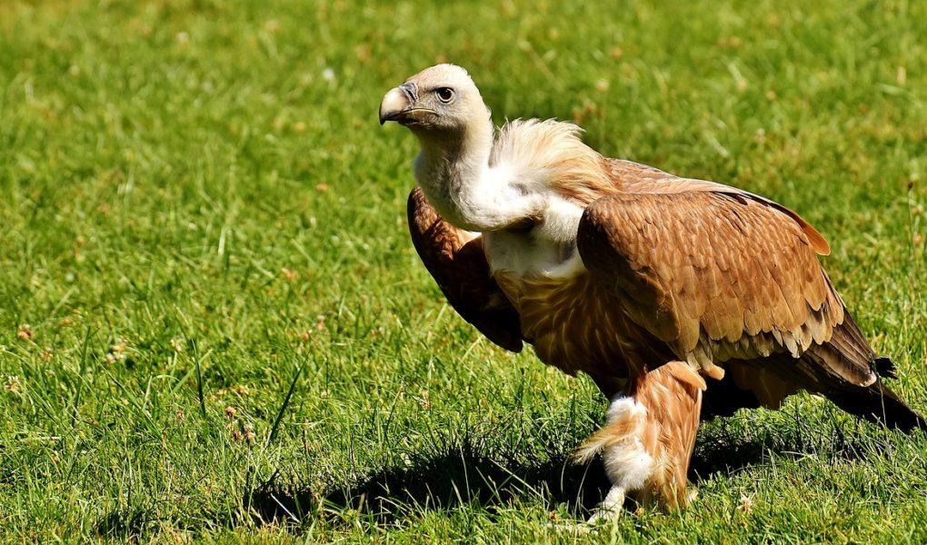 Zoom sur les vautours