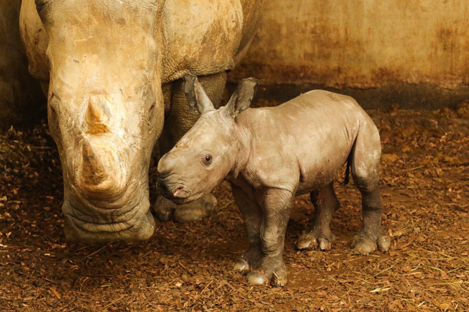 Bébé rhinocéros blanc © Zoo de la Boissière du Doré