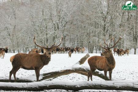 Cerfs en hiver © Parc animalier de Sainte-Croix