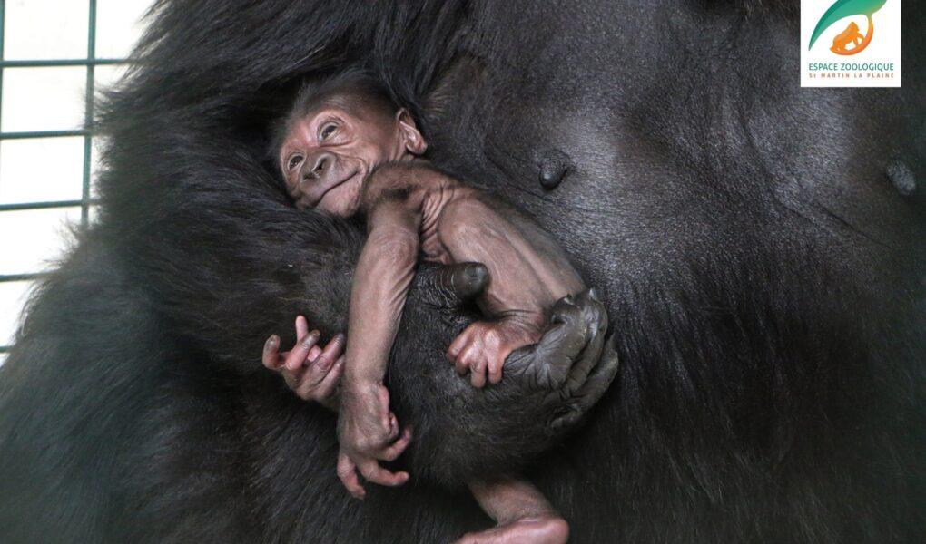 Bébé gorille © Espace Zoologique de Saint-Martin-la-Plaine