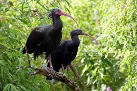 Ibis chauves © Jacky Renard
