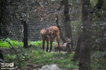 loups à crinières © Zoo de Montpellier