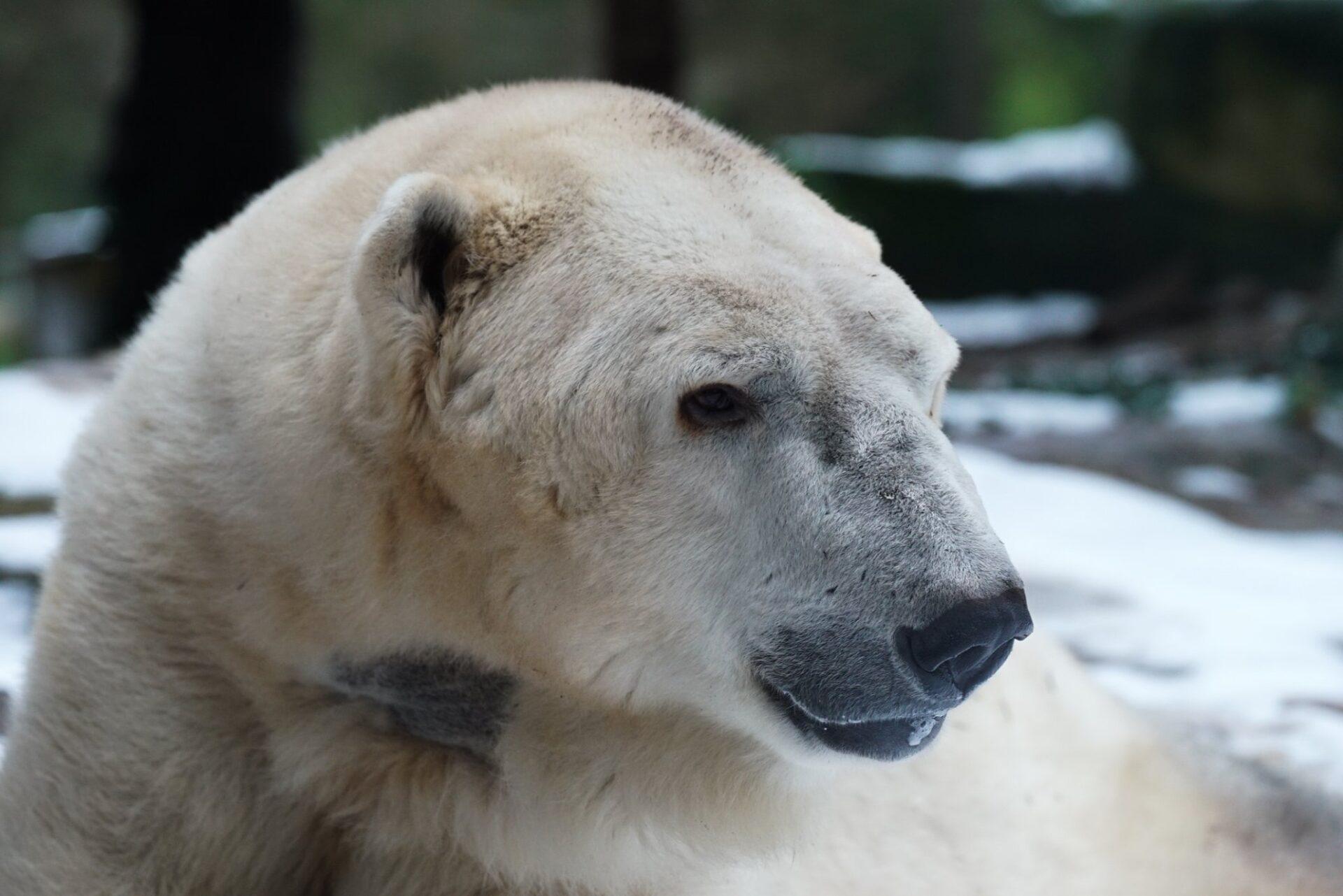 Tromso ours polaire © Zoo d'Amnéville