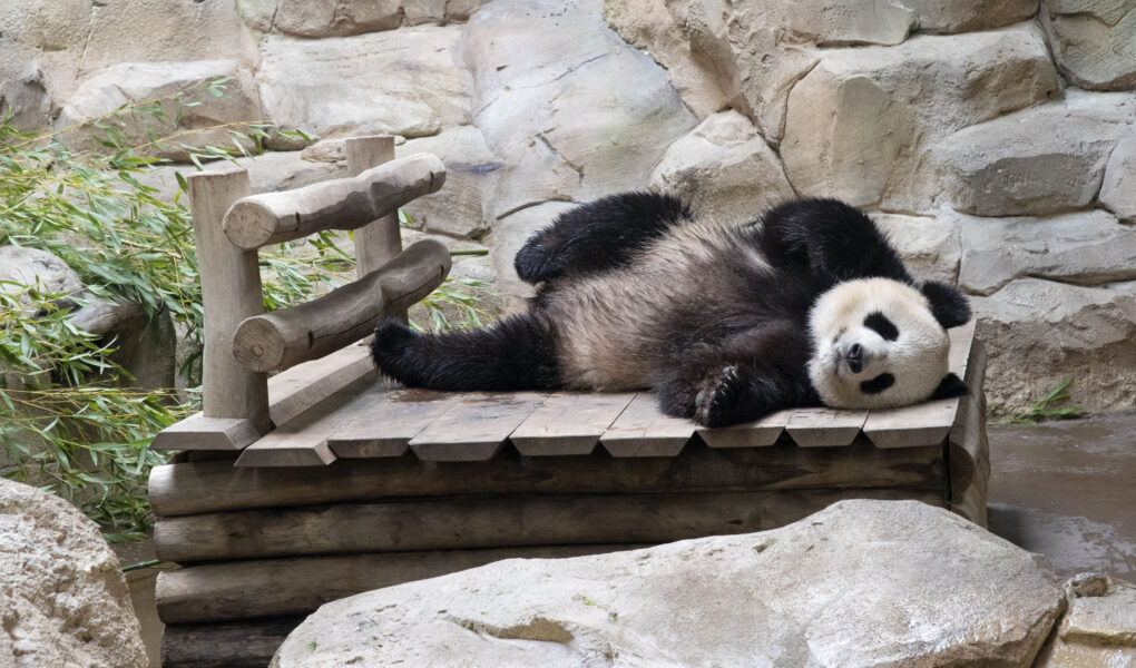 Panda © ZooParc de Beauval