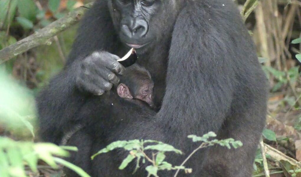 © ZooParc de Beauval et The Aspinall Foundation